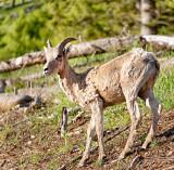 Bighorn Juvenile Male
