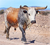 Tricolour Roan Nguni Bull