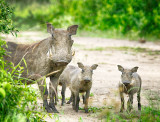 Warthog Family in the Rain
