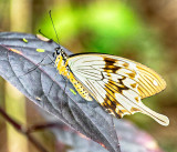Swallowtail at Rest