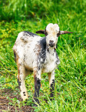 Ghana Goat