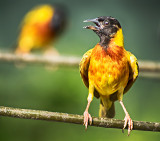 Black-headed Weaver (Ploceus melanocephalus)