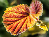 Backlit Briar-Leaf