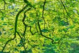 Spring Leaves - morning light
