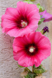 Hollyhocks (Alcea)