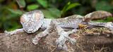 Leaf-Tailed Gecko (Uroplatus)