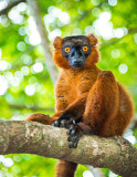 Black lemur (Eulemur macaco) Male