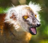 Black Lemur (female)