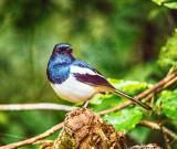 Madagascan Magpie-Robin (Copsychus albospecularis) Male