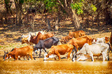 Skinny Zebu Herd