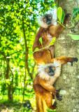 Black Lemur (Eulemur macaco) Females