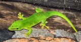 Madagascar Day Gecko (Phelsuma madagascariensis madagascariensis)