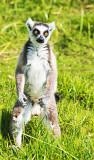 Gun Slinger - Ring-tailed Lemur (Lemur catta)
