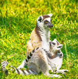 Mother and Baby - Ring-tailed Lemur (Lemur catta)