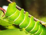 Giant Comet Moth (Argema mittrei) caterpillar