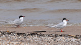 Lake Michigan Terns