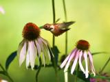 Rufous hummingbird 4 August 2015