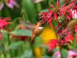 Rufous hummingbird 8 August 2015