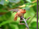 Rufous hummingbird 9 August 2015