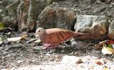 Ruddy ground dove at Balboa Inn