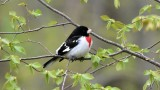 RB Grosbeak