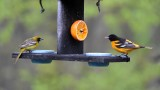 1st Year Male Orchard and Baltimore Orioles