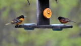 Adult male Orchard and Baltimore Orioles