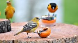 Oriole Jelly feast