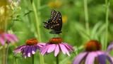 Black swallowtail 26 July 2016a.jpg
