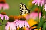 Tiger swallowtail01.jpg