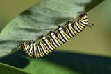 Monarch caterpillar01.jpg
