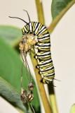 Monarch caterpillar02.jpg