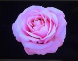 Natural Presserved Flower