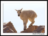 Mountain Goat Pictures...