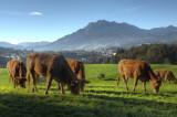 Cows and Mount Pilatus
