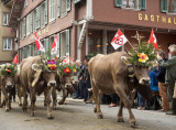 Cows coming back from the alps. Désalpe