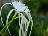 White in green - the spider lily