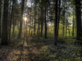Sunrise in the spring forest