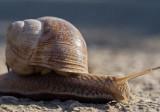 White wood snail