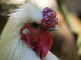 Angry rooster ...