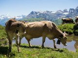 Cows and calves on Gitschenenalp