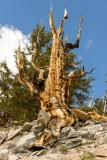 Wind Sculpted Dead Bristlecone Pine