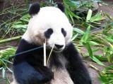 Pandas chow time.jpg