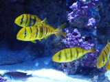 Yellow fishes.jpg