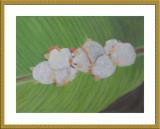 Honduran white bats 1.jpg