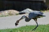 Great Blue Heron with Huge Gopher