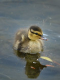 Floating Duckling