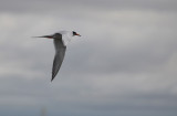 Tern Against Grey Sky