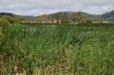 Reeds and Pond