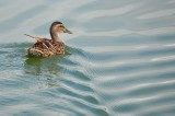 Mallard Swimming Away